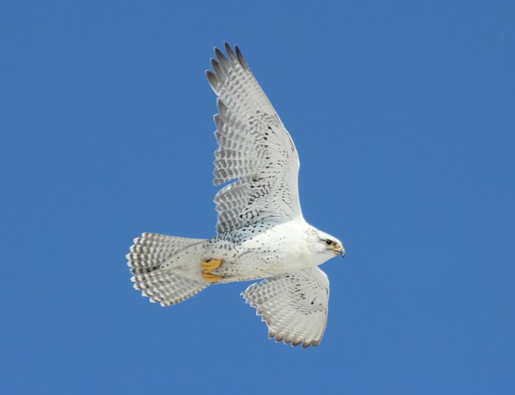 Gyrfalcon-Quebec, CA-Claude Auchu-surfbirds.com