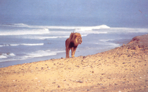 desert-lion1